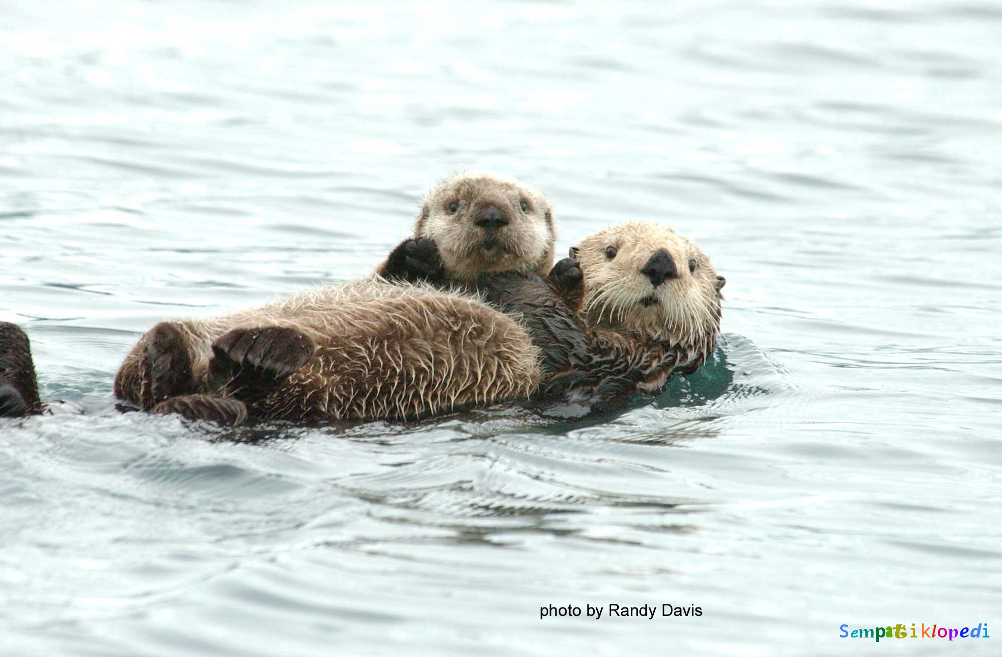 Asthmatic Sea Otter Learns To Use An Inhaler